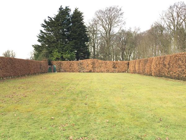 beech-hedge2