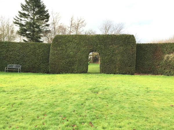 yew-hedge1